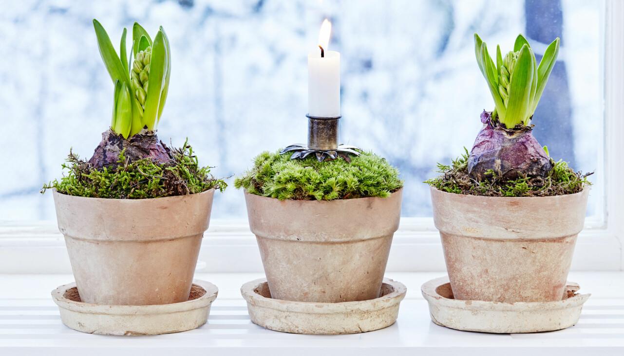 Hyacinter planterade med lök i klassiska krukor med mossa som dekoration.