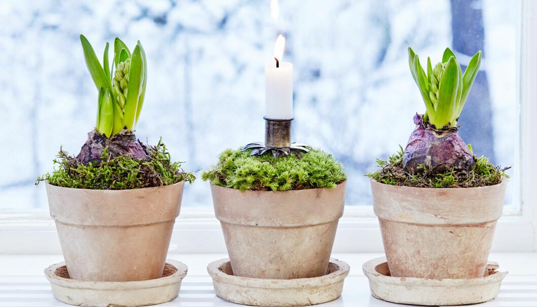 Hyacinter planterade i små krukor som sedan dekorerats med mossa.