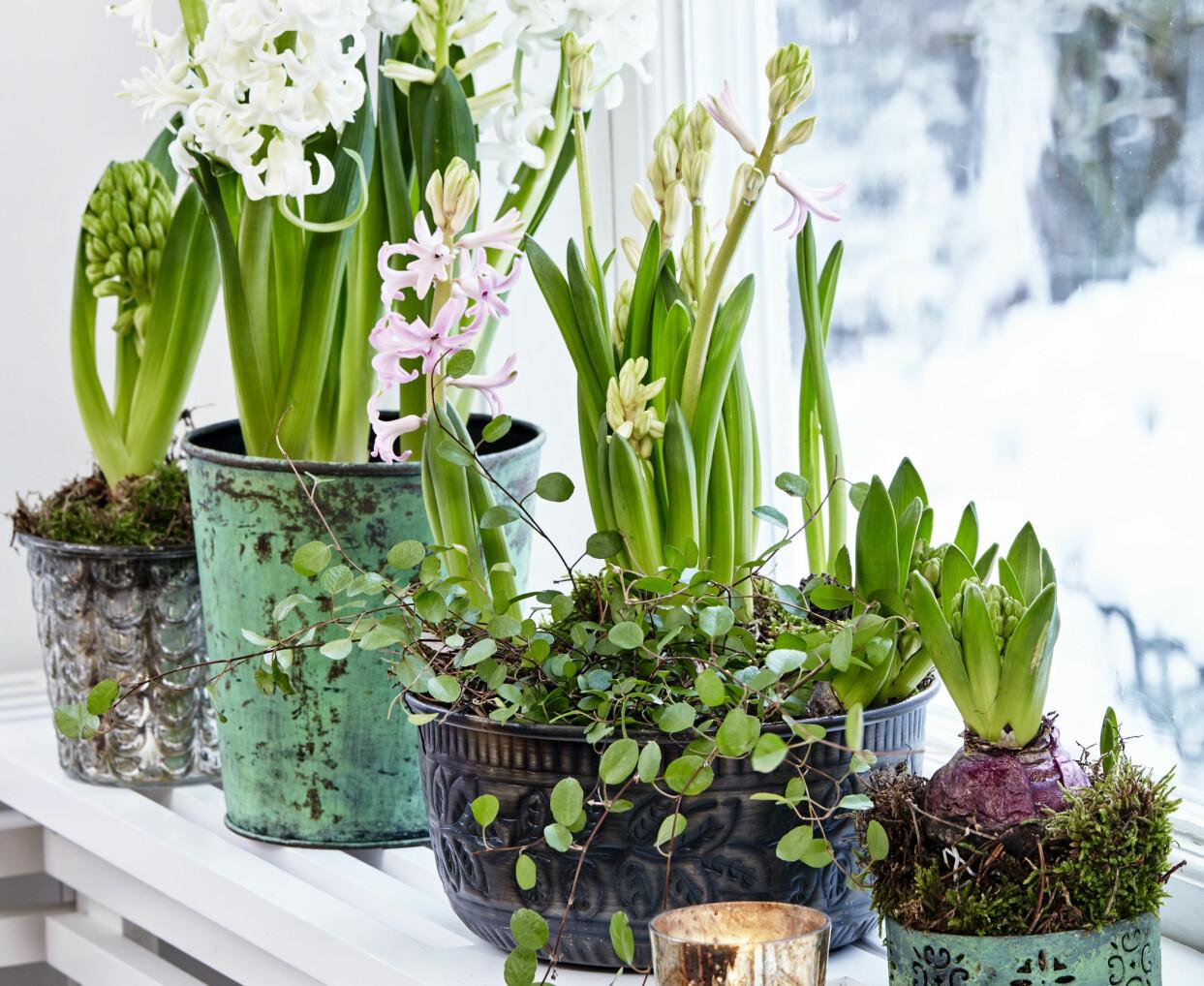 Hyacinter i olika sorters färger och krukor på fönsterbräde.