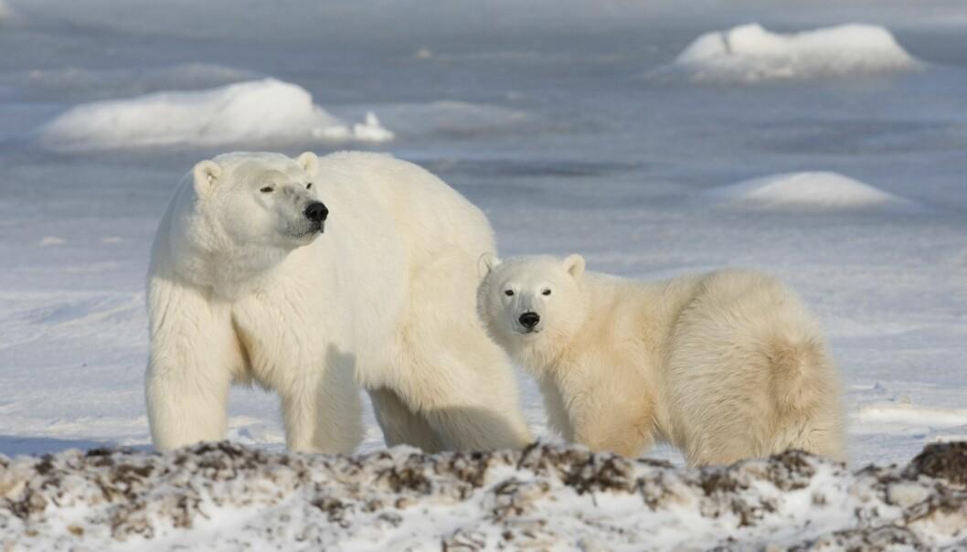 Isbjörnar spanar ut över de snöiga vidderna.