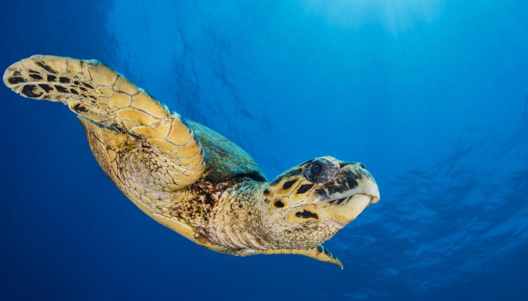 En havssköldpadda simmar under vatten.