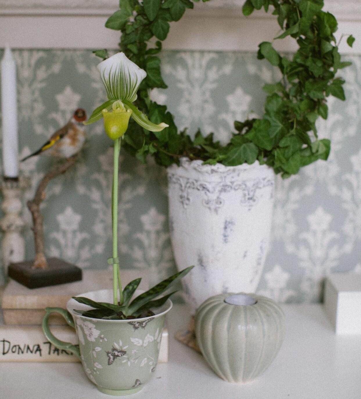 Venussko – orkidé.