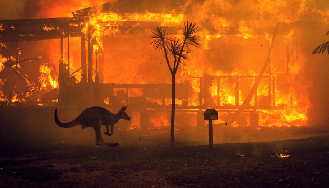 En känguru flyr förbi ett brinnande hus i Australien.