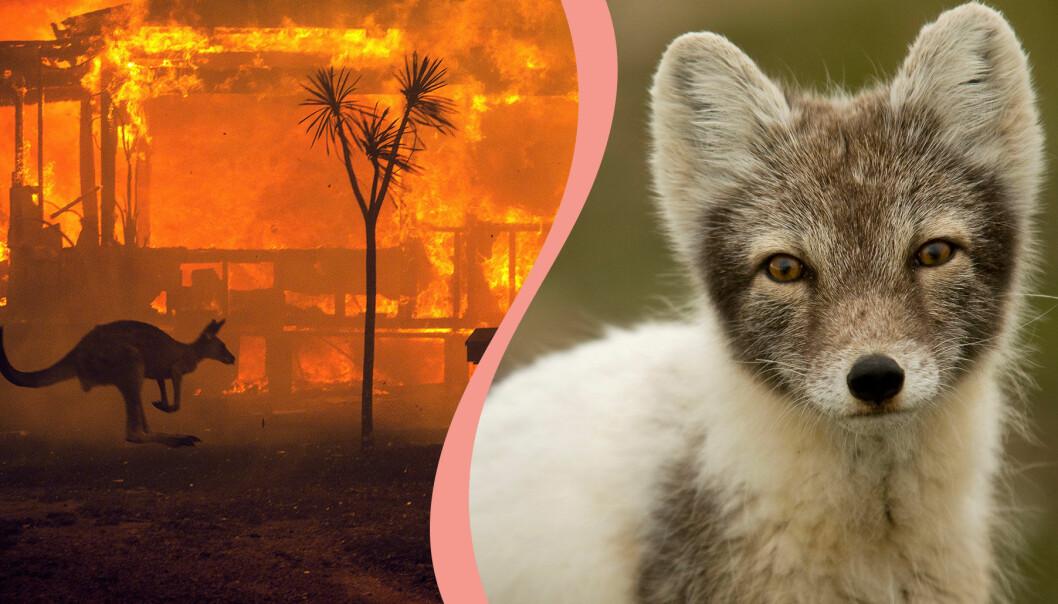 Känguru som flyr undan bränderna i Australien och en fjällräv.