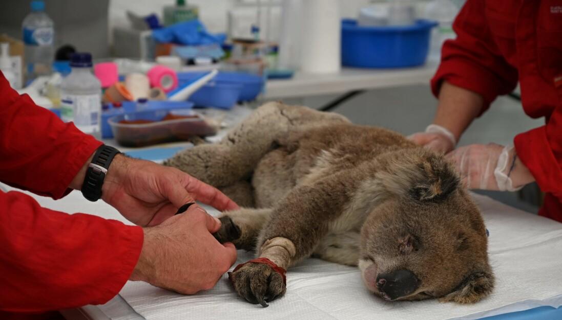 En brännskadad koala tas om hand av veterinärer i Australien.