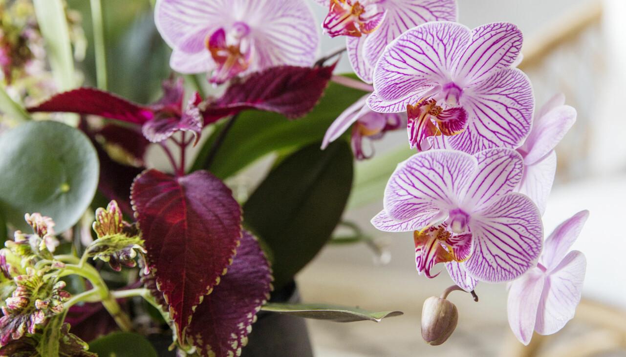 Orkidéer samplanterade med palettblad och elefantöra.