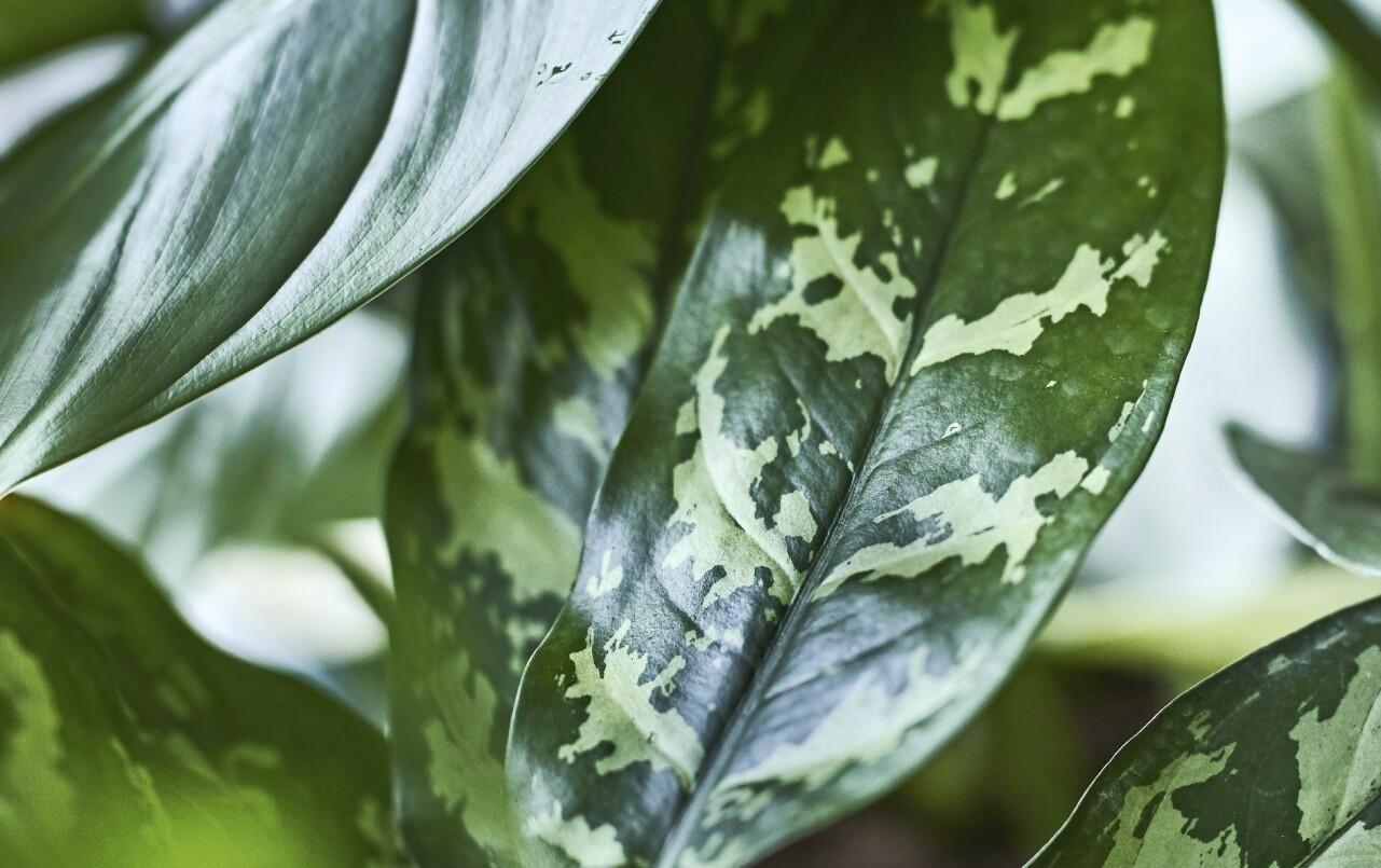 Detalj av en silverkallas blad.