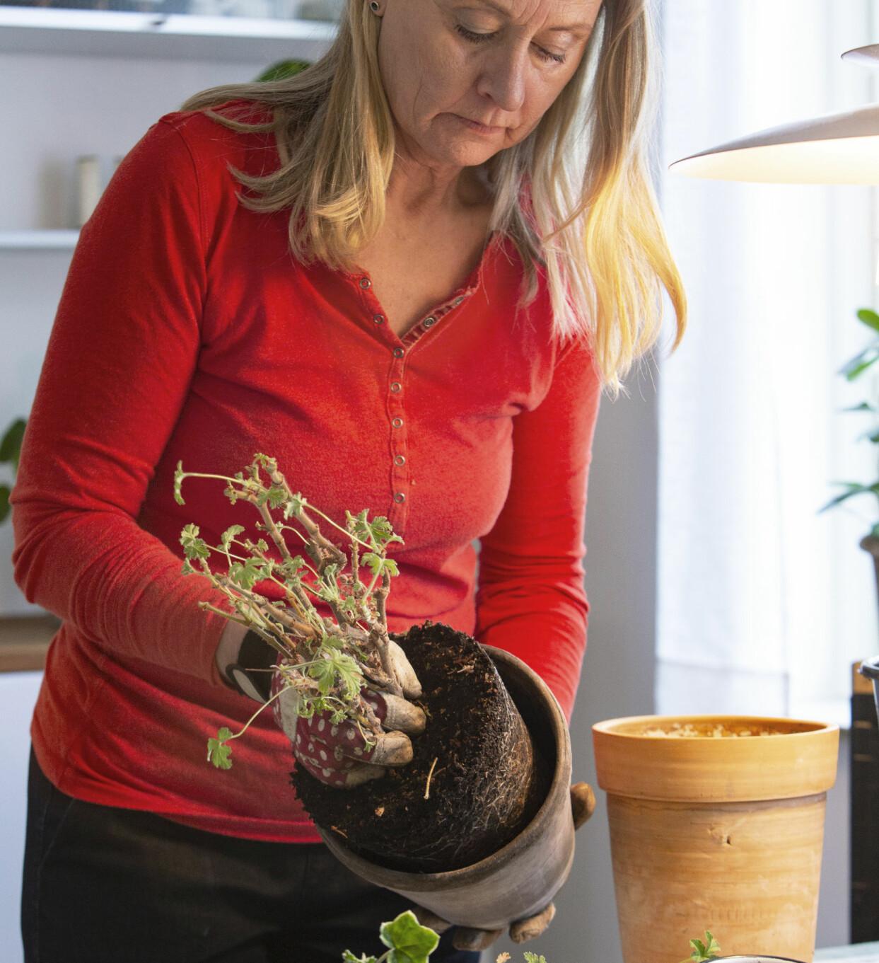 Kvinna kollar rötterna på pelargon.