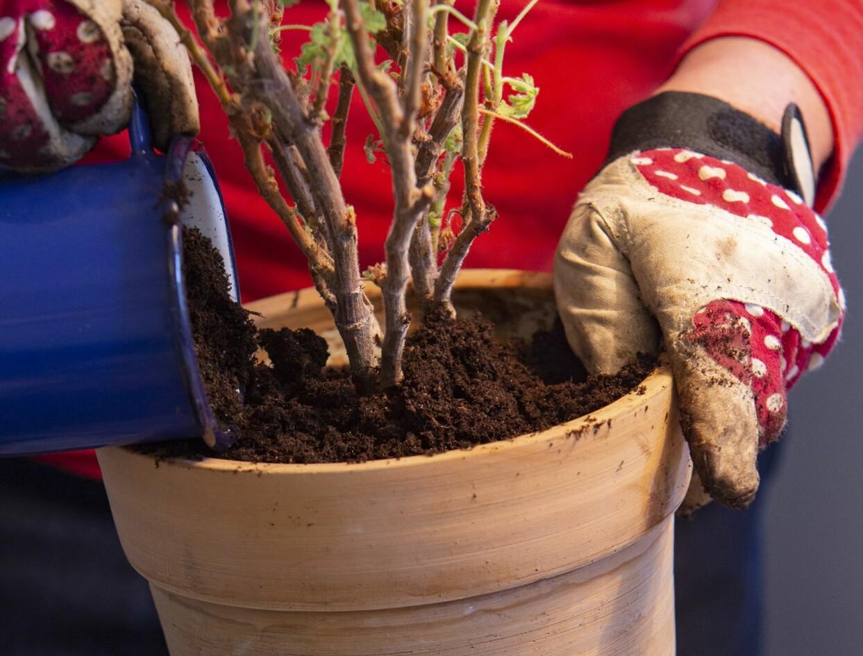 Kvinna planterar om pelargon i ny ren kruka.