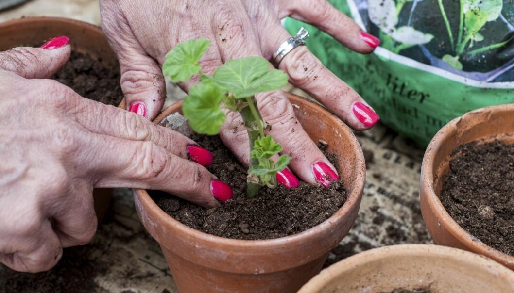 Plantera sticklingen i jorden och tryck till.