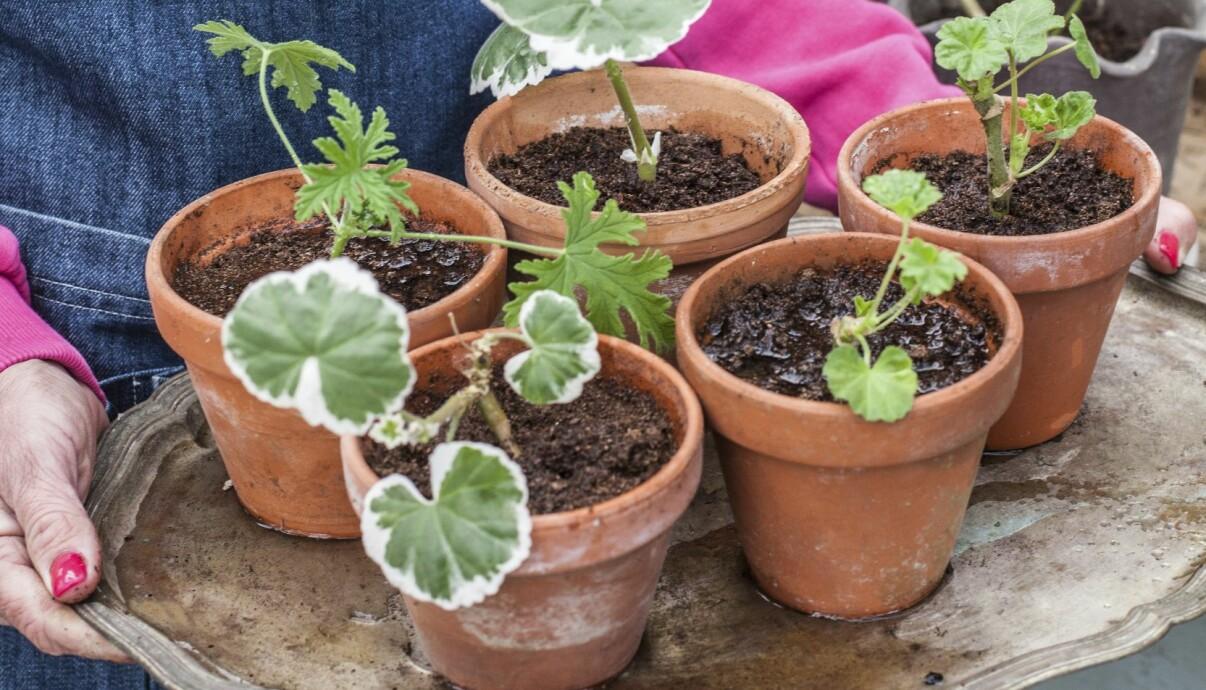 Planterade små pelargonsticklingar