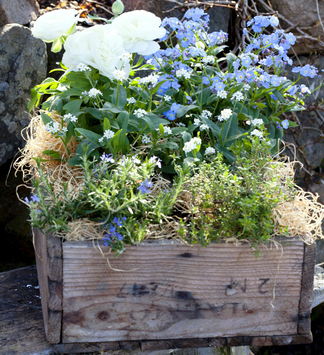 Vita ranunkler, vita och blå förgärmigej, tillsammans med timjan och rosmarin i en gammal frölåda.