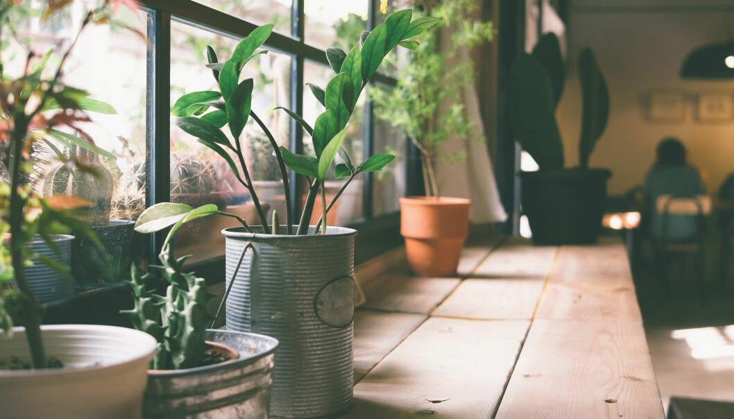Krukväxter utplacerade på en träbänk vid ett fönster.