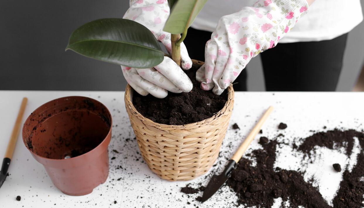 En kvinna planterar om en krukväxt.