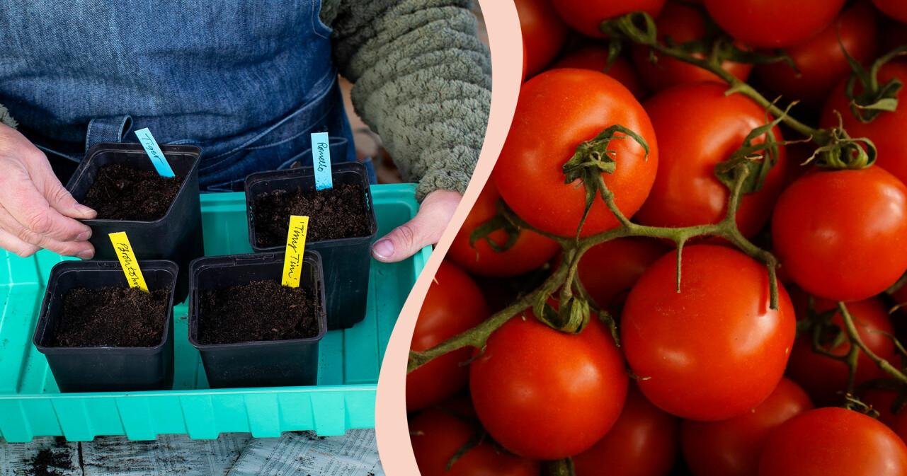 Tomater som planterats i små krukor och fullvuxna tomater redo att ätas.