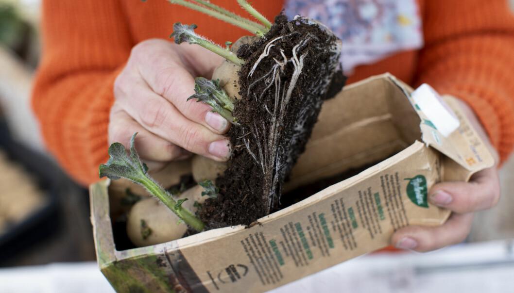 Förodling av potatis i mjölkpaket går bra – här har bildats både blast och rötter.