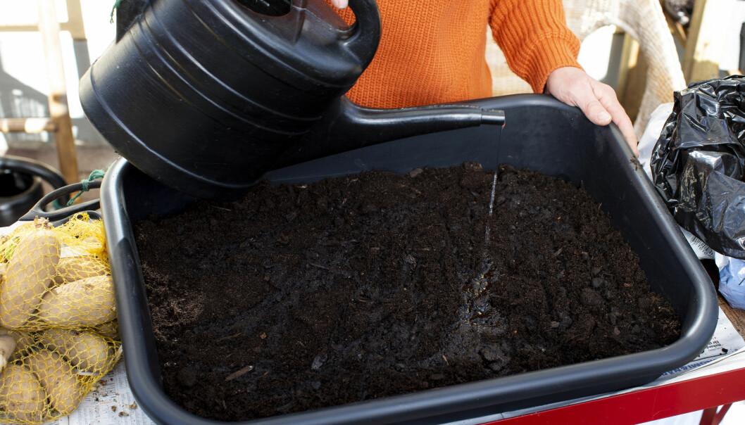 När du börjar med att förodla potatis ska jorden vara fuktig.