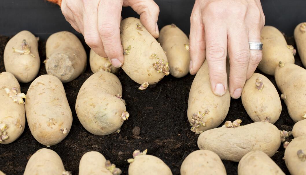 För att få potatis tidigt kan du förodla – då måste du trycka ner dem lätt i jorden.