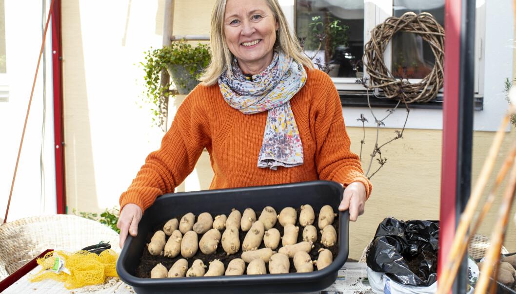 Tråget med de förodlade potatisarna ska placeras ljust och i rumstemperatur.