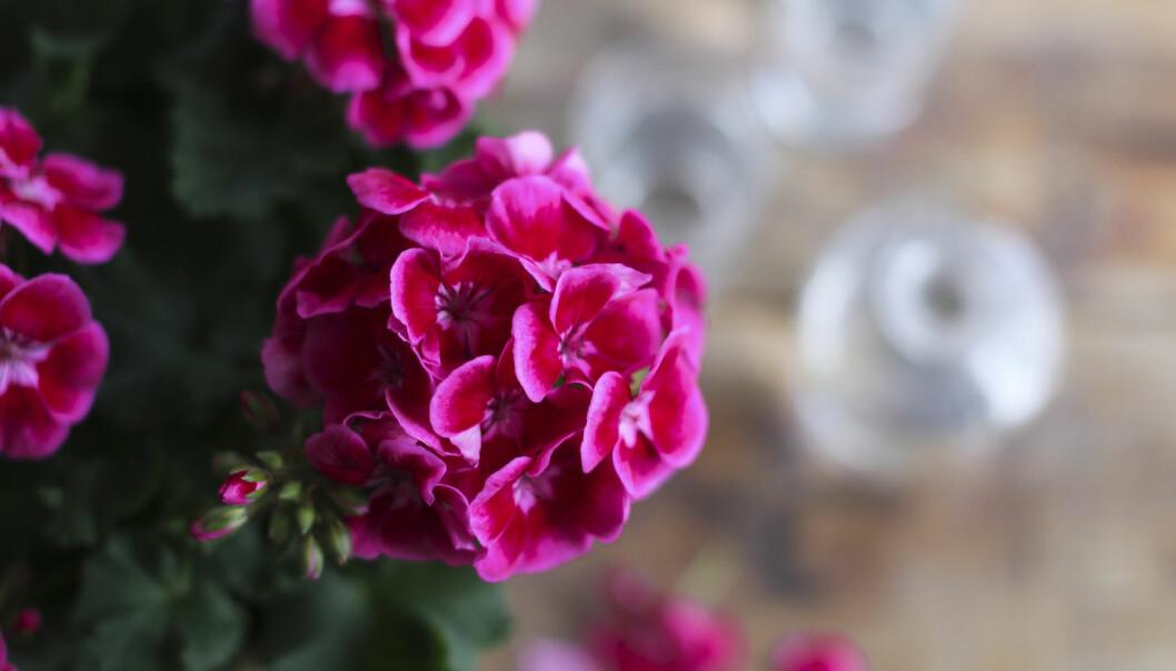 Närbild av Tango Deep Rose With Eye som den 26 mars utsågs till Årets pelargon 2020.
