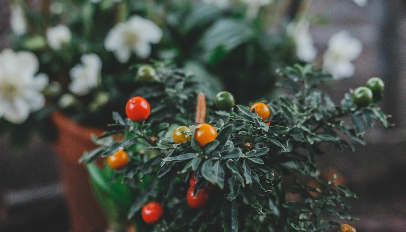 Tomater och annat som odlas på balkong.