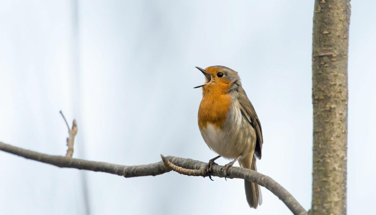 En rödhake med rött bröst sitter på en gren och sjunger.