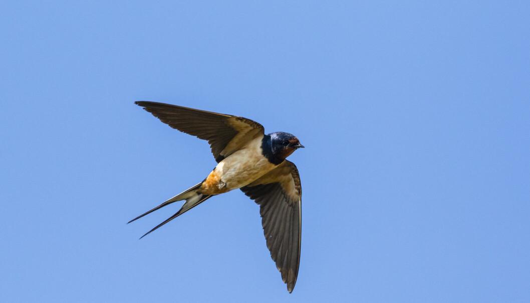 En ladusvala med kluvna stjärtfjädrar som flyger högt.