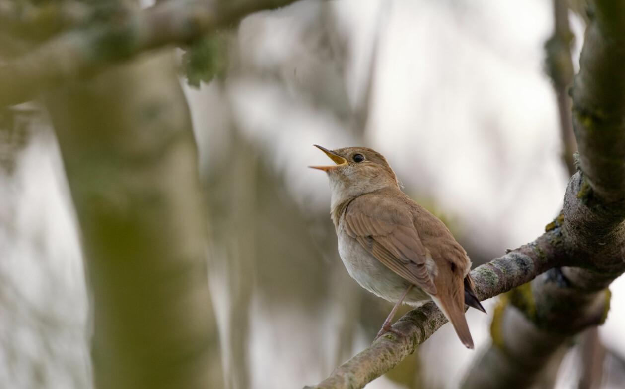 En näktergal sitter på en trädgren och sjunger.