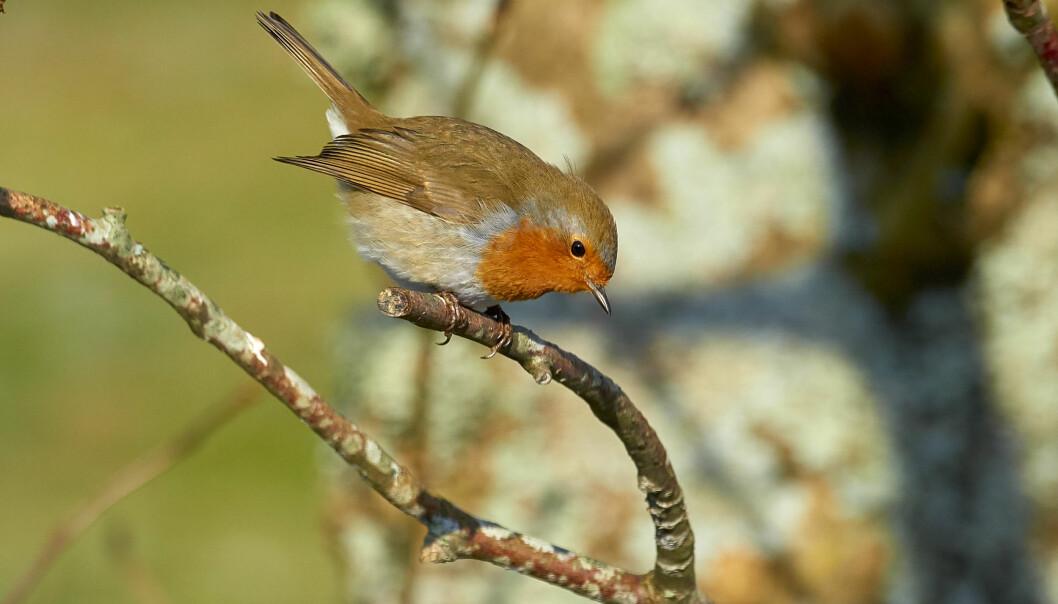 En rödhake med rött bröst sitter på en gren och sjunger i högan sky.