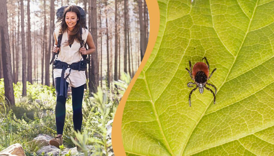 Kollage av kvinna som promenerar i naturen och fästing på ett blad.