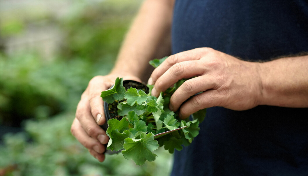John Taylor inspekterar bladverk på plantskolan.