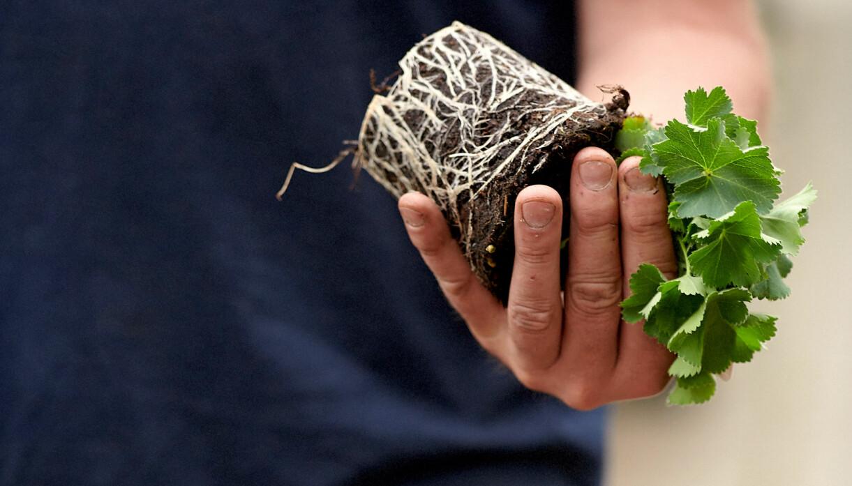 John Taylor visar hur rötterna ska se ut på plantan.