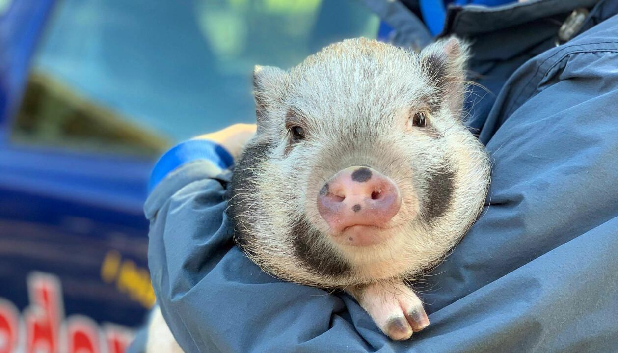 En gris i en kvinnas famn på Ekhaga gård.
