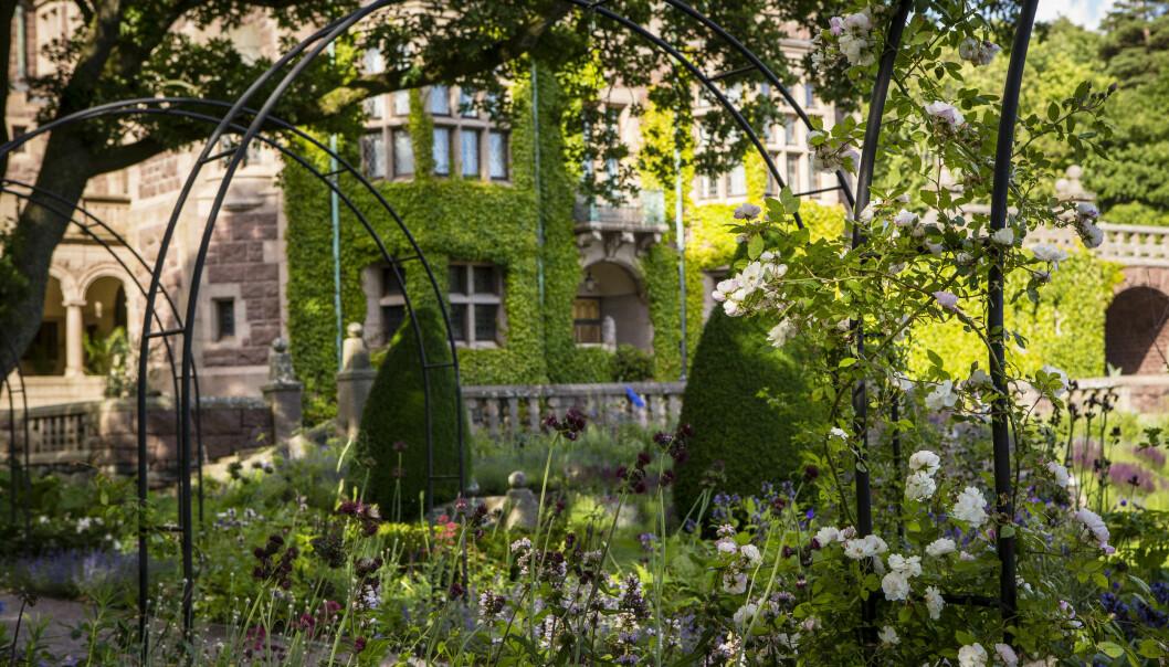 Tjolöholms slottsväggar täcks av en tjock murgröna, och vita rosor klättrar längs med metallbågar som bildar ett promenadstråk.