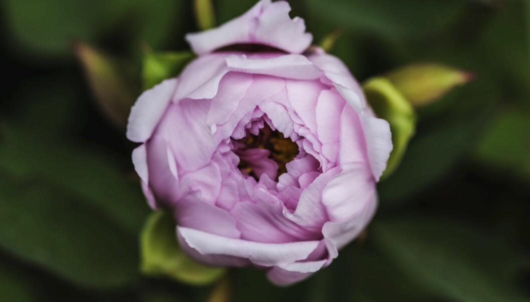 En rosa pion precis innan den slår ut, i Visbys botaniska trädgård.