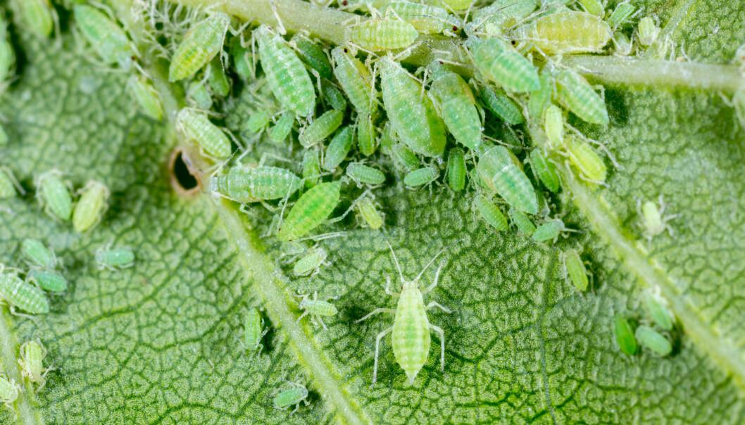 Gröna bladlöss på undersidan av ett blad.
