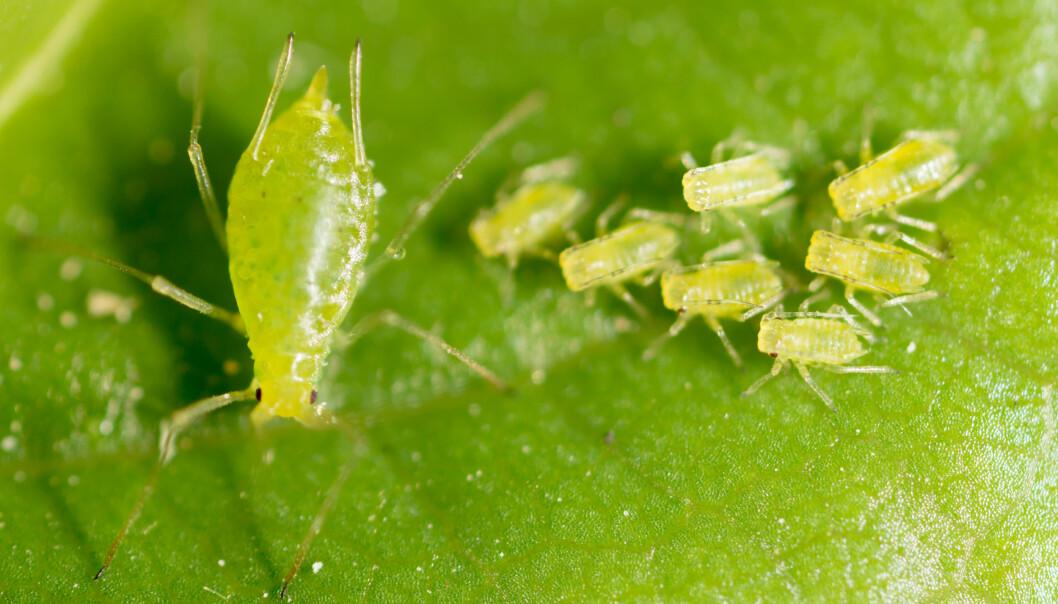 Gröna bladlöss på ett blad.