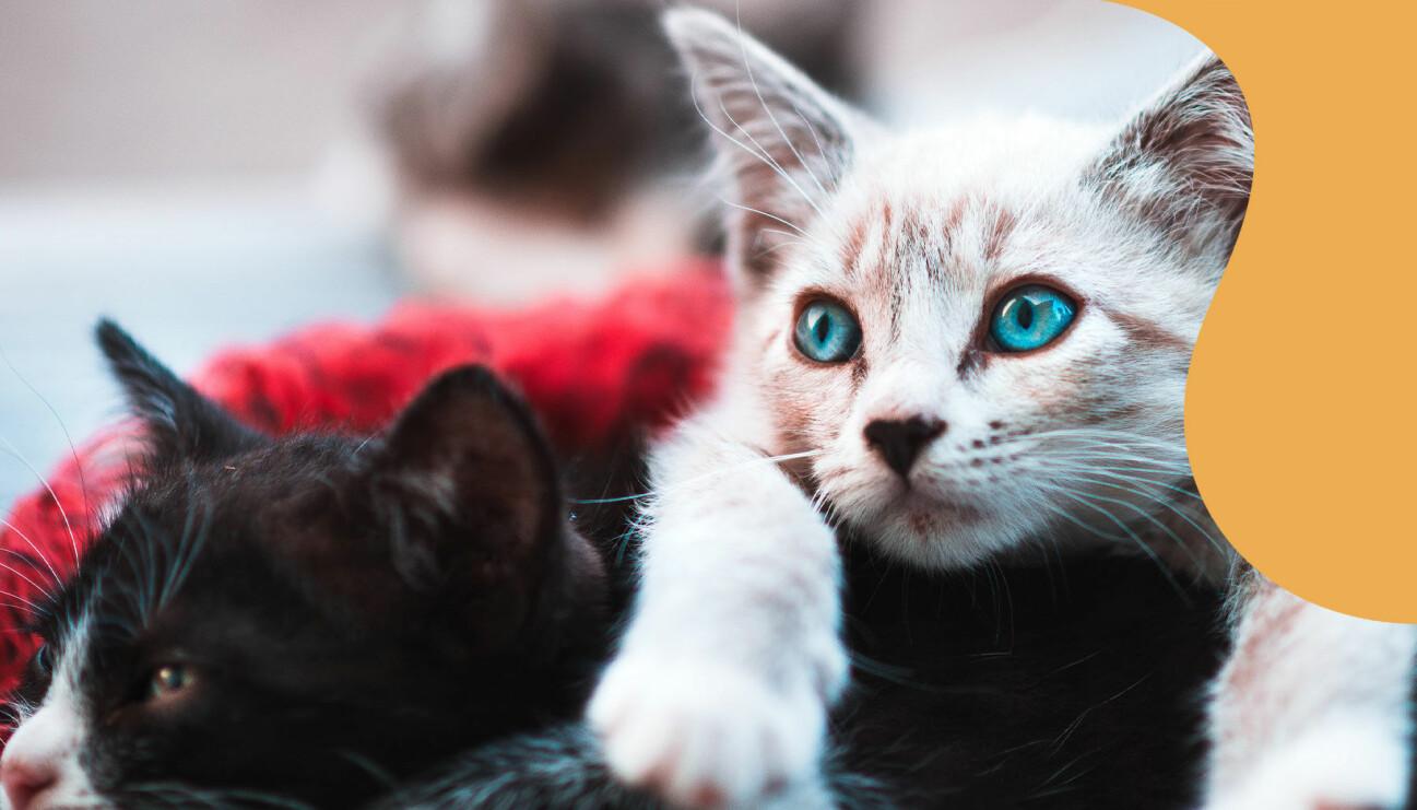 Två katter ligger och myser.