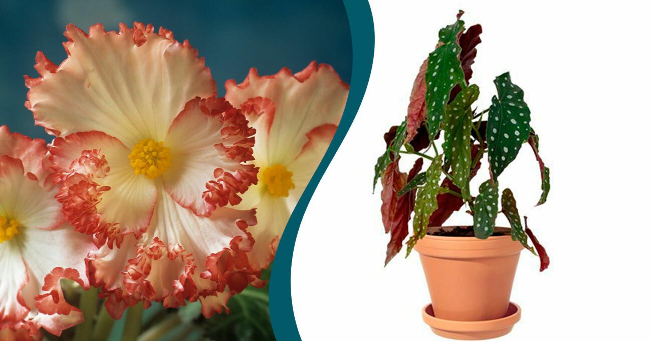 Begonia 'Crispa Marginata' och Begonia 'Maculata'