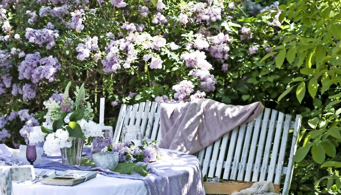 En trädgård i syrenens vackra rosa färger.