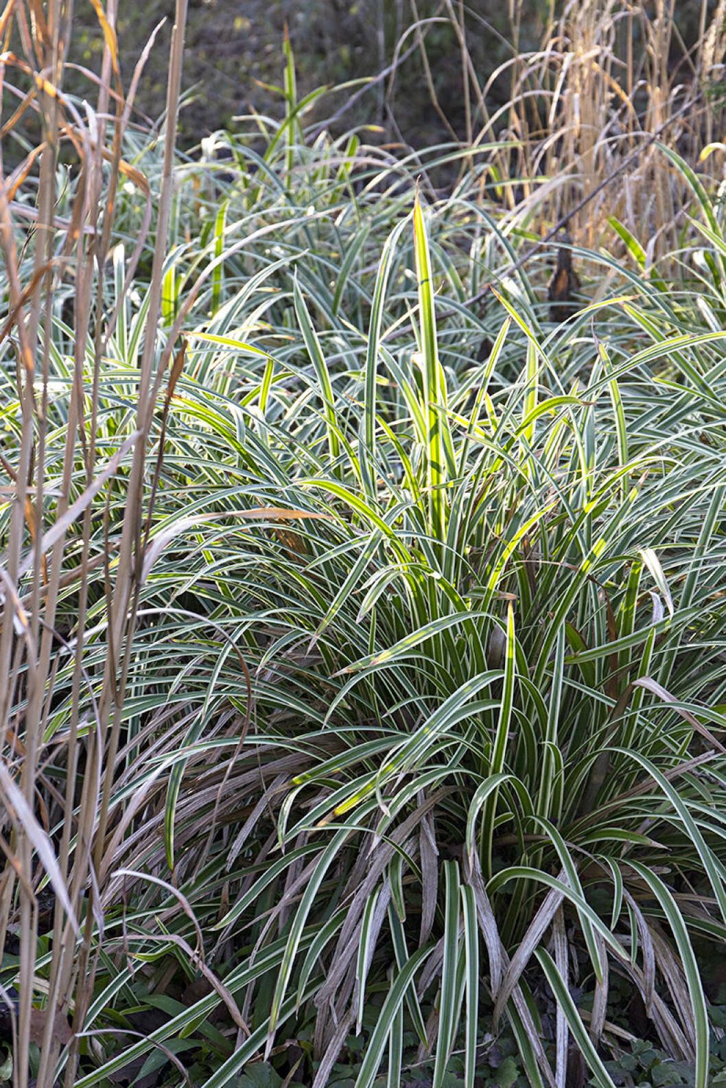 Japansk starr, Carex morrowii, 'Ice Dance', har styva åretrunt-gröna blad med vita kanter. Gräset blir 30 cm högt och är en fin marktäckare. Trivs bäst i hel- eller halvskugga.