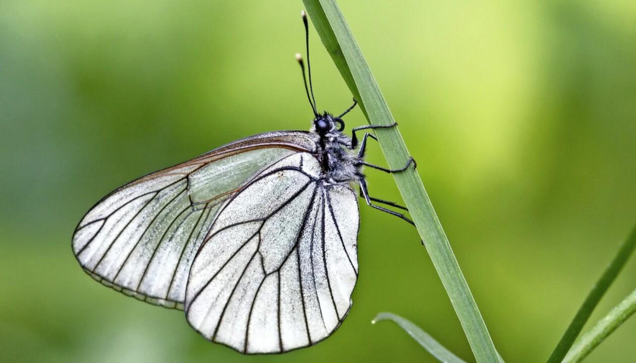 Närbild av en kålfjäril.