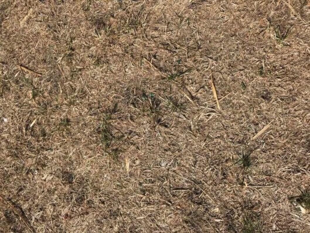John Taylors torra gräsmatta under augusti 2018