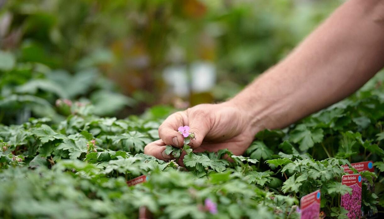 John Taylor inspekterar knoppar och blommor på plantskolan.
