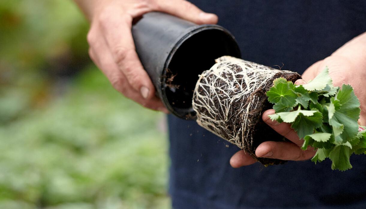John Taylor tar försiktigt ut plantan ur krukan för att inspektera rötterna.