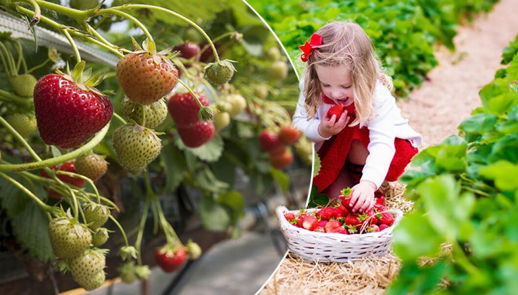 En flicka plockar jordgubbar och äter.