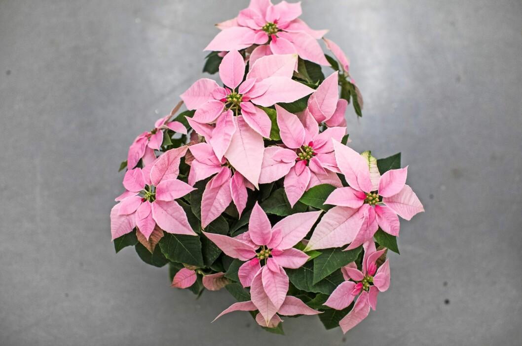 Julstjärnan 'J'adore Pink'