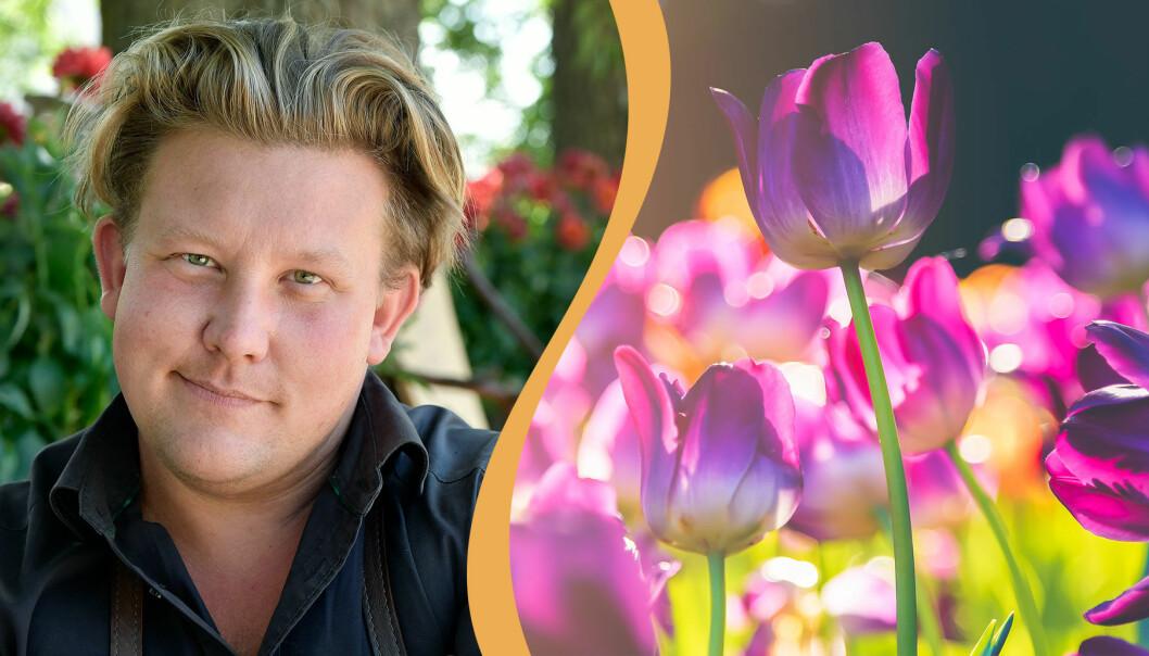Delad bild. Till vänster syns Karl Fredrik Gustafsson i sin handelsträdgård på Österlen och till höger syns en tulpanrabatt i full blom.