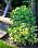 Christina är speciellt svag för gulbladiga växter.