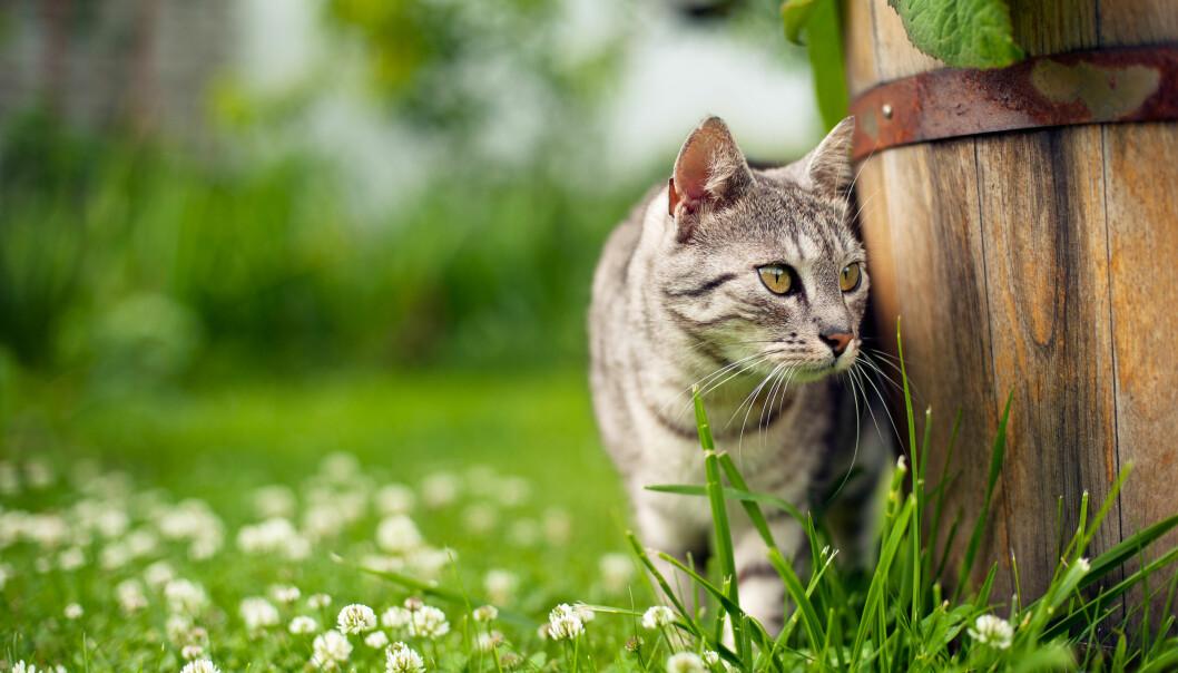Randig katt stryker förbi en trätunna i en charmig trädgård.